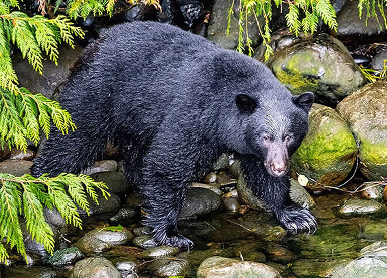 Bear Hunting Buyer's Guide