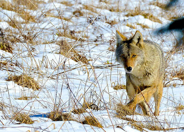 Coyote Hunting Buyer's Guide